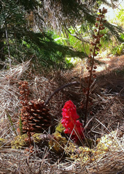 mycotrophs snow plant pine drops