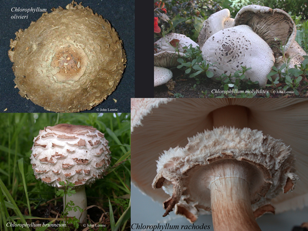 Chlorophyllum species